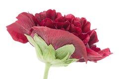 Purple rose hollyhock flower closeup Stock Image