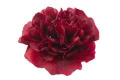 Purple rose hollyhock flower closeup Royalty Free Stock Images