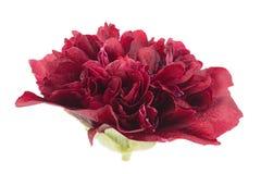 Purple rose hollyhock flower closeup Royalty Free Stock Photos