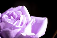 Purple rose kisses by sun royalty free stock image