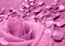 Purple rose and purple petals. Beautiful purple rose flower over petals background Royalty Free Stock Photography