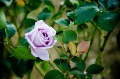 Purple rose - single purple rose. Purple rose - single purple rose with leaves Royalty Free Stock Image