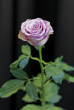 Purple rose Stock Photography