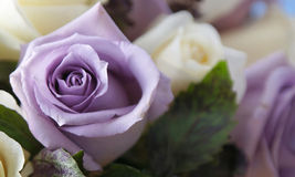 Purple rose up close. Close up of beautiful white and purple roses in bloom arranged in bouquet Royalty Free Stock Image