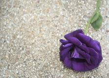 Purple Rose Valentine`s Day. Romance violet rose Stock Image