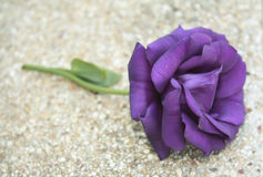 Purple Rose Valentine`s Day. Romance violet rose Stock Photography
