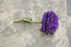 Purple Rose Valentine`s Day. Romance violet rose Royalty Free Stock Image