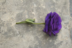 Purple Rose Valentine`s Day. Romance violet rose Royalty Free Stock Images