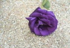 Purple Rose Valentine`s Day. Romance violet rose Stock Photos