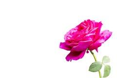 Purple Rose Royalty Free Stock Photo