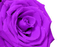 Purple rose with white background Stock Photography