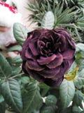 Purple rose on the window stock image