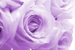 Purple roses. With water drops on them, closeup Royalty Free Stock Photography