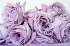 Purple Roses Stock Images