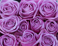 Purple roses. Bunch of purple rose flowers Royalty Free Stock Image