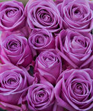 Purple roses. Bunch of purple rose flower heads Royalty Free Stock Photo
