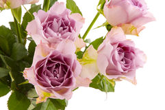 Purple roses. In the studio royalty free stock photo