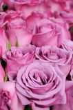 Purple roses background Royalty Free Stock Photography