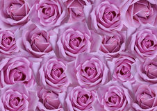 Purple roses background Royalty Free Stock Photo