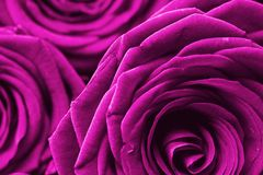 Purple Roses Background Stock Photography