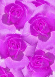 Purple roses background Royalty Free Stock Photos