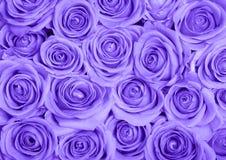 Purple roses. Background image of purple roses royalty free stock photo