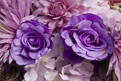 Purple roses. Beautiful purple roses for background royalty free stock images