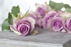 Purple Roses Bouquet Stock Photography