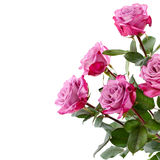 Purple roses bouquet on a white background Royalty Free Stock Images