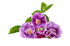 Purple roses bouquet on a white background isolated Royalty Free Stock Photos