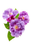 Purple roses bouquet on a white background Royalty Free Stock Photo