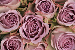 Purple roses Royalty Free Stock Photos
