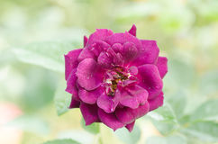 Purple roses flower Royalty Free Stock Image