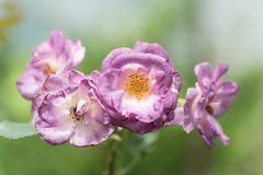 Purple roses flower blossom in a garden Royalty Free Stock Photo