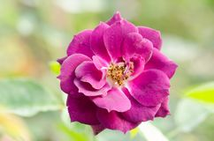 Purple roses flower blossom in a garden Stock Photo