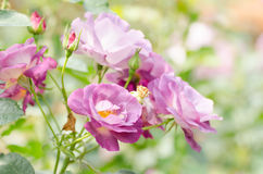 Purple roses flower Stock Images