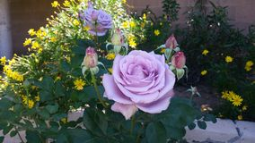 Purple roses. Growing in my backyard Royalty Free Stock Photography