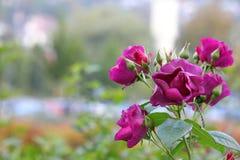 Purple Roses In The Garden Stock Photos