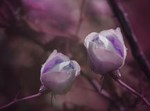 Purple Roses on a purple-pink background after a rain with drops of water. Close-up. Floral background. Royalty Free Stock Photo