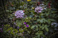 Purple Roses. In a lush garden stock photography