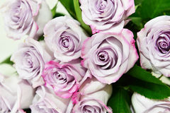 Purple roses Royalty Free Stock Images