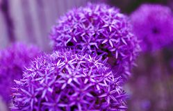 Purple round allium flowers with blurred background, close up, c stock image