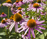 Purple rudbeckia Stock Photo