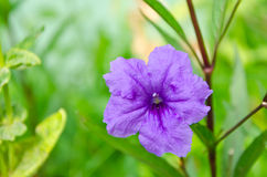 Purple ruellia flower Royalty Free Stock Image