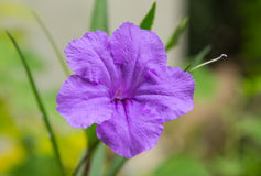 A Purple ruellia squarrosa or Wild petunias Royalty Free Stock Image