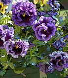Purple ruffled pansies. Shades of purple adorn these ruffled pansies and make them irresistable to any purple lover royalty free stock photography