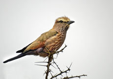 Purple or Rufous crowned roller Royalty Free Stock Photos