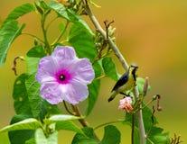Purple Rumped Sunbird Stock Image