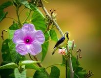 Purple Rumped Sunbird Stock Photo