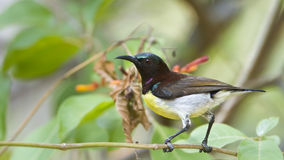 Purple-rumped Sunbird in Minneriya, Sri Lanka Royalty Free Stock Photos